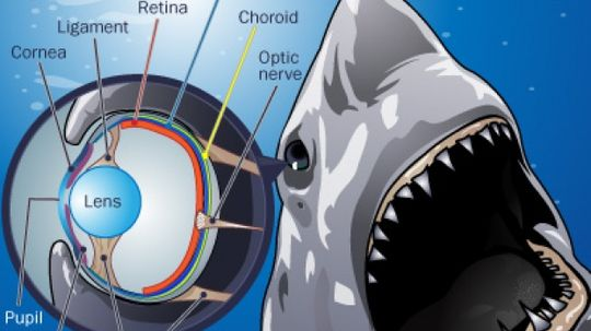 How do sharks see, smell and hear?