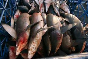 Sharks caught in the Arabian Sea at a market in Dubai, United Arab Emirates. The United States exported4,160 tons of shark meat in 2007.