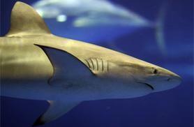 Sharks on the brink  Photo by Erik Charlton