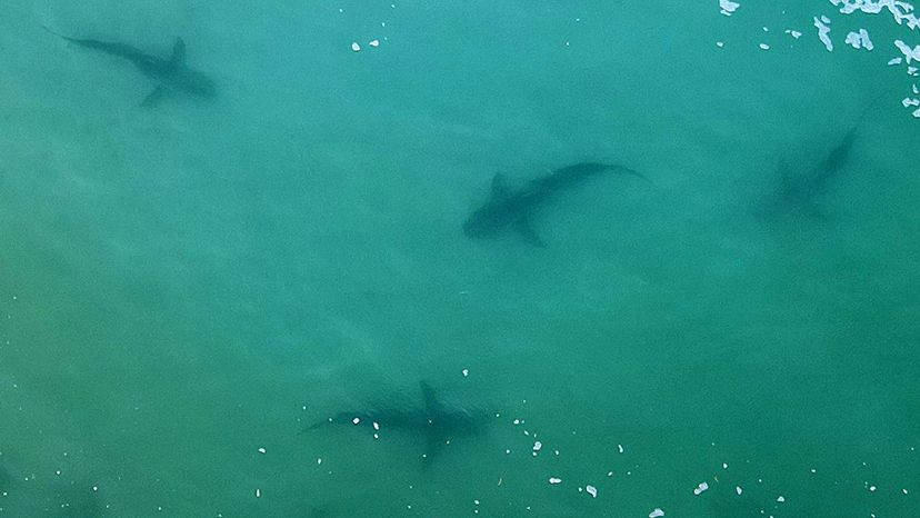 Aerial view of sharks swimming in the shallows of the Mediterranean Sea.