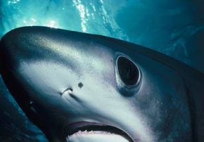 The shark's sensitive senses allow it to track its prey. See more shark pictures.