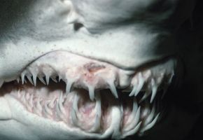 Cheese! Multiple rows of teeth are clearly visible on this sand tiger shark. See more shark pictures.
