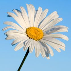 This Shasta daisy looks perfect against the blue sky.