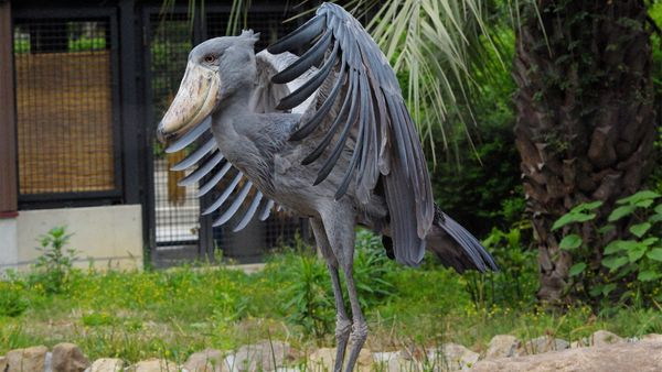 The Freaky and Formidable Shoebill Stork Is One Strange Bird