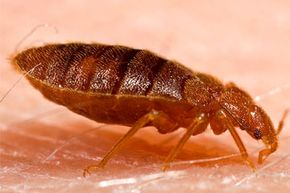 A bedbug in the process of feeding.