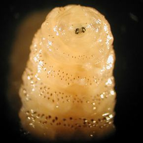 The human botfly larvae, also known as Dermatobia hominis, after removal from human flesh.