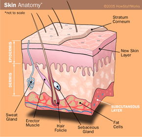 Cross-section view of your skin. The fat is in the subcutaneous layer, which is richly supplied with blood vessels.