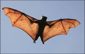 Echolocation, Bats