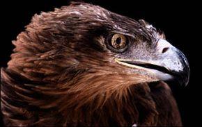 Eyesight, the Eagle