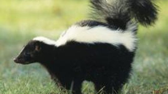 How to Trap a Skunk Without Getting Sprayed