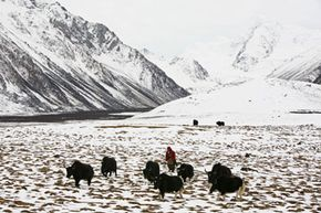 A woman herds yaks on the outskirts of Tibet's Basu County.