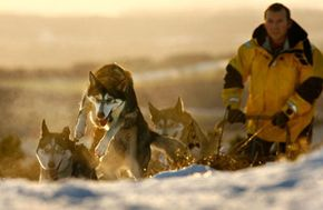 Dog Image Gallery Mike McCrae and his Siberian huskies train for the Aviemore Sled Dog Rally in Great Britain. See more pictures of dogs.