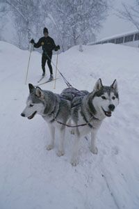 Skijoring is another type of race using dogs. Rather than pulling a sled, the dogs pull a racer on skis.