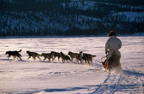 Managing a pack of sled dogs can be harder than it looks.