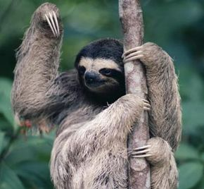 Wild sloths are more active that originally thought, only sleeping around nine hours per day.