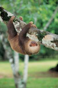 Sloths generally travel no more than 125 feet (38 meters) in one day. See more pictures of mammals.
