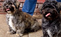 A fluffy, teddy-bearlike puppy cut will relieve a shih tzu's owners from needing to brush him daily.
