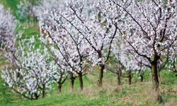 This orchard is blooming with Moorpark Apricot trees.