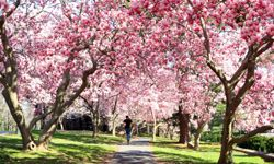 The walkways of Princeton University are lined with stunning Magnolia trees.