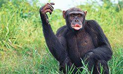 Female chimpanzee (Pan troglodytes) calling
