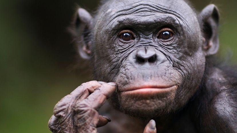 male Bonobo chimp