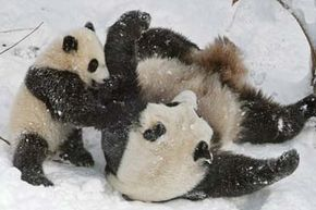Panda Tai Shan, shown here at 7-months-old, horsed around with mom Mei Xiang at the National Zoo.