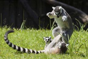 A study found that contraeptives altered the chemical compound of secretions in female lemurs' genital areas -- and made them less attractive to male lemurs.