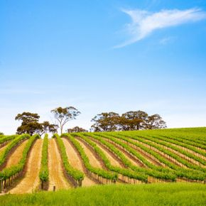 With a huge diversity of climate conditions and soil types, South Australia lends itself to the cultivation of a wealth of grape varieties in 17 distinct winemaking regions. See our collection of wine pictures.