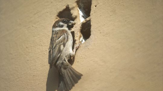 Urban Birds Oust Bugs With Butts