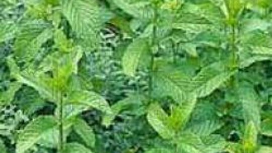 Using Mint to Treat Upset Stomach