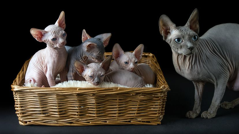 Sphynx cat and litter of kittens