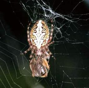 An orb web spider with wrapped prey