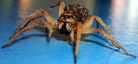 A wolf spider carries its young spiderlings on its back.