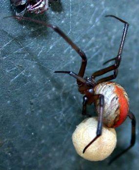 A redback spider with her silk-spun egg sac