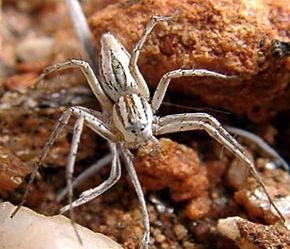 A lynx spider in the Australian Outback. See more pictures of arachnids.