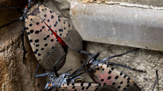 The Voracious Spotted Lanternfly Is Invading the Eastern U.S.