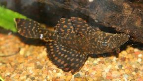 Spotted Pleco -- hypostomus punctatus See more aquarium fish pictures.