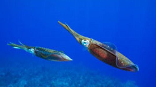 Squid Pictures