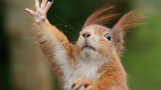 Squirrels Can Be Left- or Right-handed