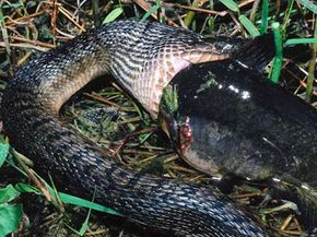 A brown water snake, armless, eats a sizable catfish.