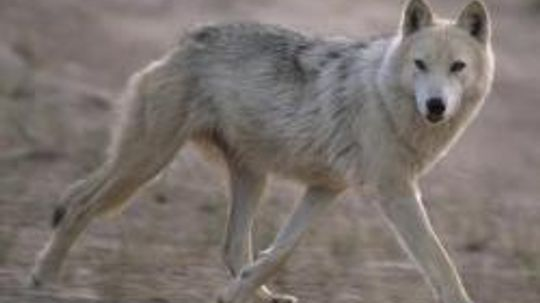 Wolf Image Gallery