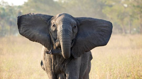 Ivory Poaching Led Only Female Elephants to Evolve Tuskless