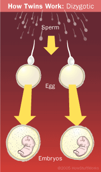 How fraternal twins are made.