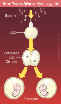 How identical twins are made.
