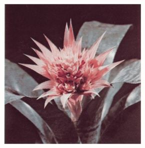 """The aechmea derive their name from the Greek, """"aechme; spear tip."""" See more pictures of bromeliads."""