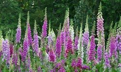Digitalis is derived from the foxglove plant.