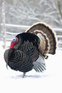 Ben Franklin was a big fan of these North American natives. See more pictures of wild turkeys.