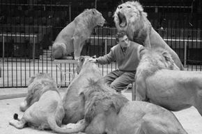 Trainer Joe Clavall aka 'Tarzan' sits amidst his Atlas lions and lionesses whilst rehearsing for a London circus performance, circa 1954.