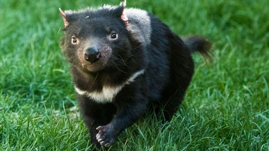 Are Tasmanian Devils Fighting Their Way Out of Extinction?