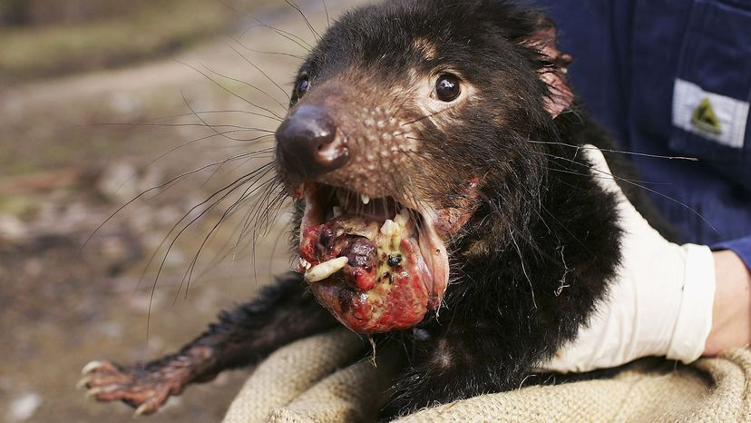 Tasmanian devil with Devil Facial Tumor Disease